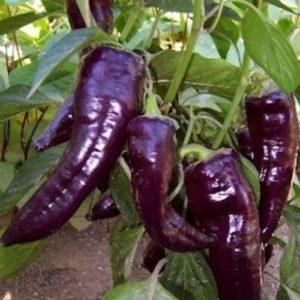 Sweet Pepper Marconi Purple