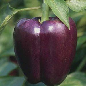 Sweet Pepper Purple Beauty Organic