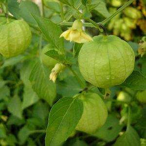 Tomatillo Verde Physalis Ixocarpa