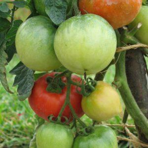 Tomato Ace 55 Vf