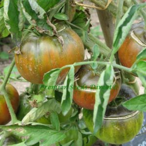 Vegetable Tomato Black From Tula