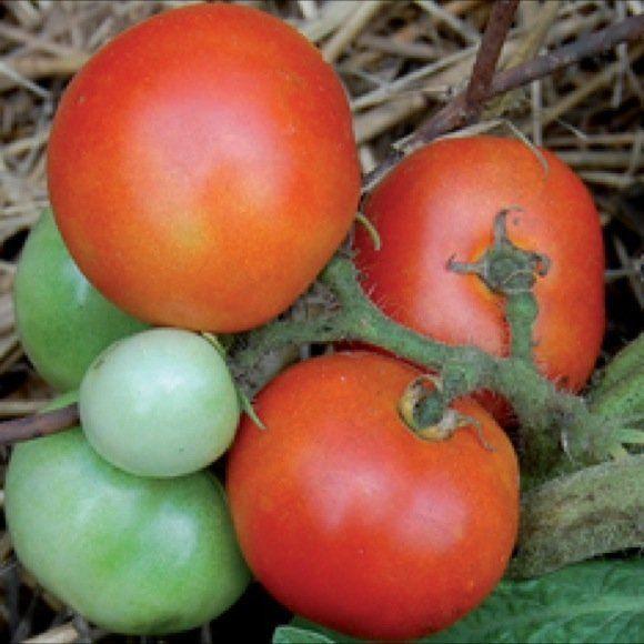 Tomato Czech Bush | Tomato | Premier Seeds Direct ltd