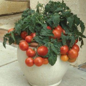 Tomato Dwarf Patio Tiny Tim