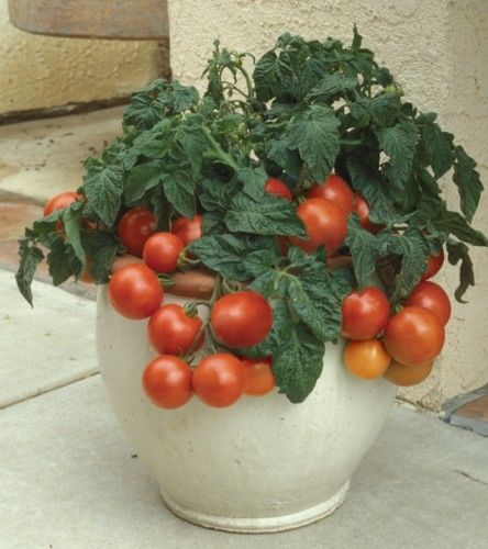 Tomato Dwarf Patio Tiny Tim
