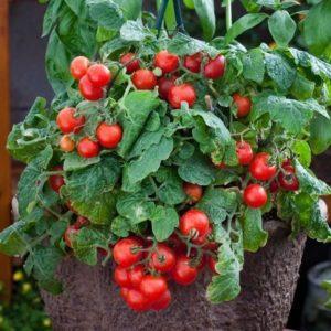 Tomato Dwarf Variety Red Robin