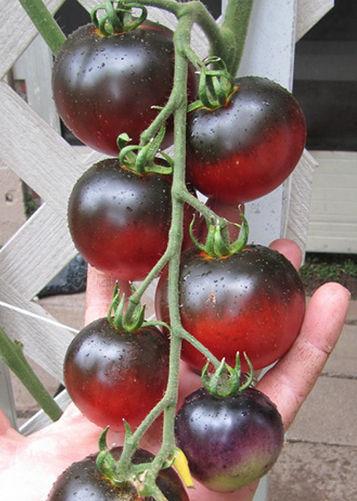 Tomato Indigo Apple