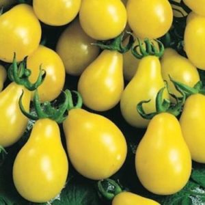 Tomato Yellow Pear Cherry Bell