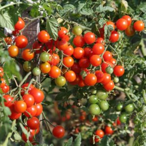 Italian Cherry Tomato Cerise