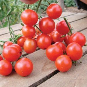 Tomato Cherry Koralik Organic