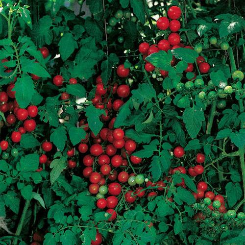 Tomato Cherry Sweetie Organic