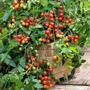 Tomato Cherry Lizzano F1