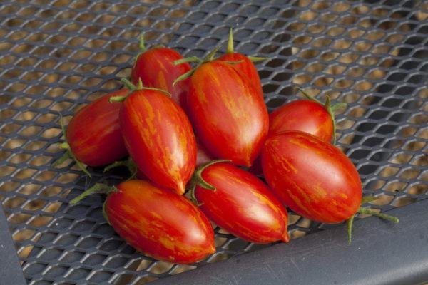 Tomato Trailing Sunstripe F1