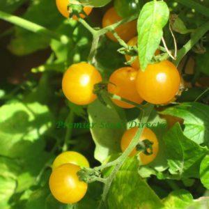 Tomato Yellow Cherry Gold Nugget