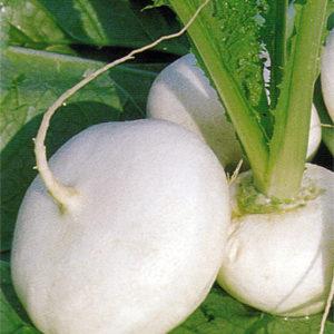 Turnip Milan White