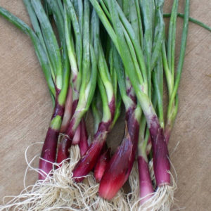 Welsh Onion Red