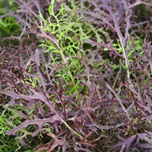 Mustard Mizuna Red Streaked Organic
