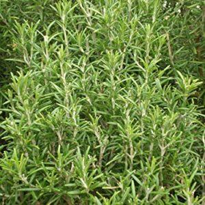 Herb Rosemary organic