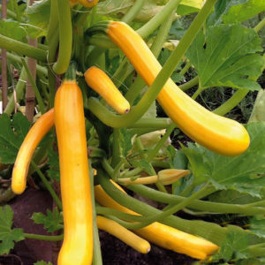Courgette Climbing Shooting Star Yellow/Golden