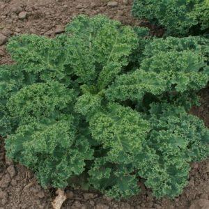 Kale Dwarf Blue Scotch Curled