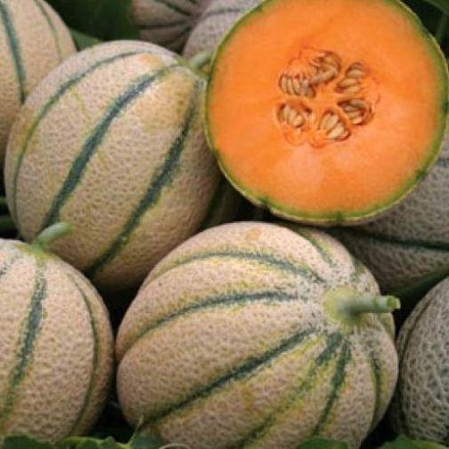 Melon Cantaloupe Retato Degli Ortolani