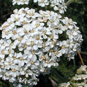 Flower Achillea Millefolium White Yarrow (New)
