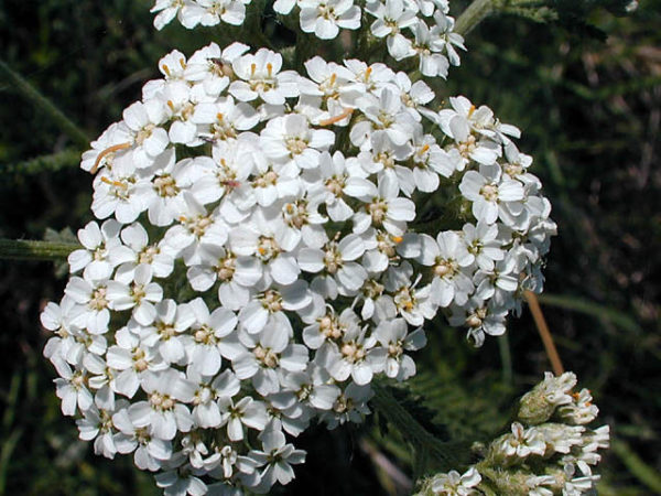 Achillea Millefolium White Yarrow (New)