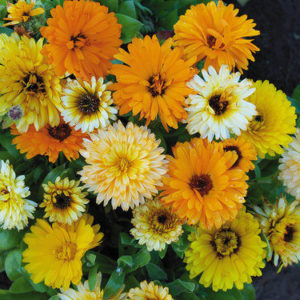 Calendula Fiesta Mix (new)