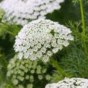 Ammi Majus - Bishops Flower