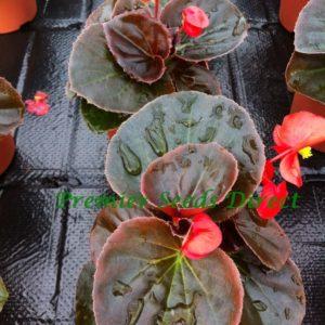 Begonia Devil Scarlet