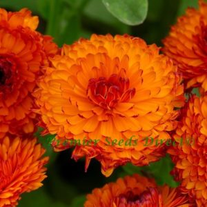 Calendula Neon – Flowers – Neon New
