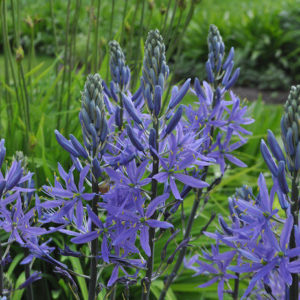 Camassia BLUE( new)