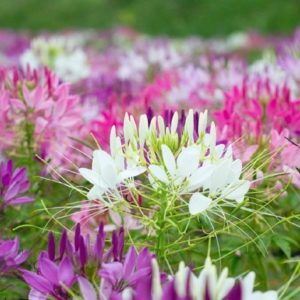 Cleome Spider Plant Cleome new