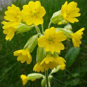 Cowslip Flowers Primula Veris new