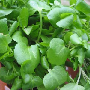 Watercress Nasturtium new