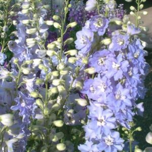 Delphinium Camelliard new