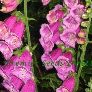 Digitalis Purpurea Native Foxglove (Purple) new