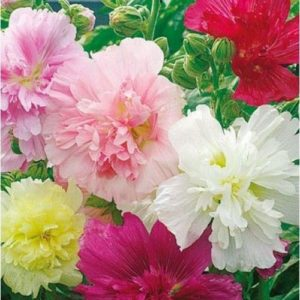 Hollyhock Majorette Mix new
