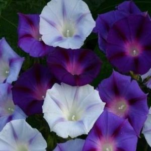 Morning Glory Ipomoea Mixed new