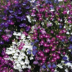 Lobelia Fountains Mix new