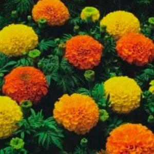 MARIGOLD - CRACKERJACK MIXED newnew