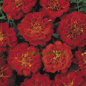 Marigold Dwarf French Durango Red new