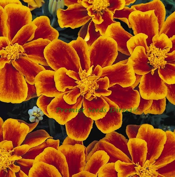Marigold Dwarf French Durango Flame new