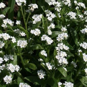 Forget Me Not Myosotis Sylvatica White new
