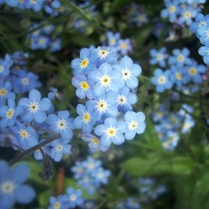 Forget Me Not Myosotis Sylvatica new
