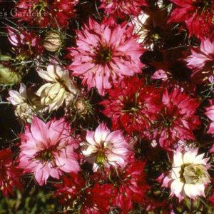 Flower Nigella Love In A Mist Mulberry Rose new