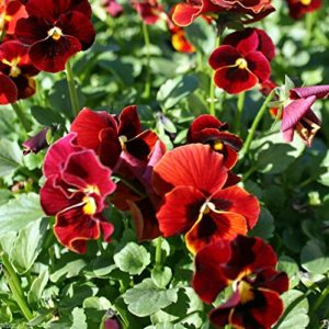 Pansy Swiss Giant Alpine Glow new