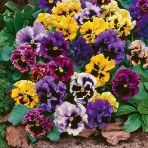 Pansy Masterpiece Rococo Mix