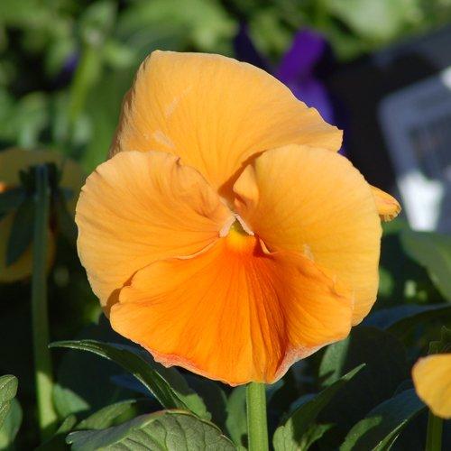 Pansy Swiss Giant Orange new