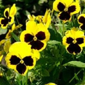 Pansy Swiss Giant Rhinegold Yellow Blotch new