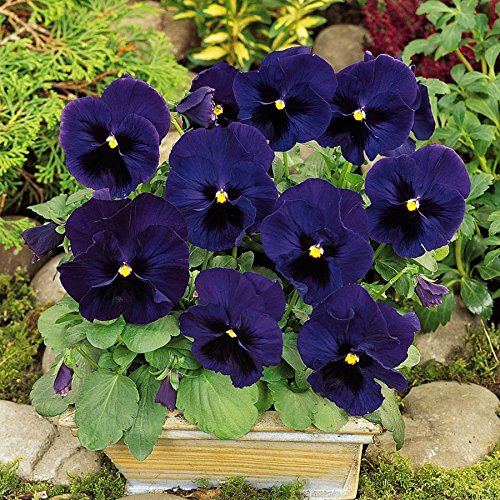Pansy Swiss Giant Ulsswater (Deep Blue) new